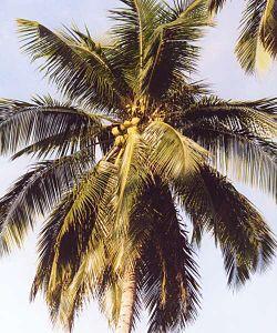 frisk kokosnød sund