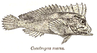 CocotropusRoseus.png