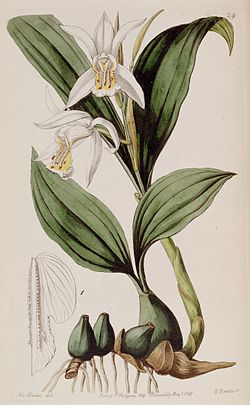 Coelogyne cumingiino: Edwards's Botanical Register
