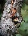 Colaptes rubiginosus Carpintero cariblanco Golden-olive Woodpecker (female) (14851699481).jpg