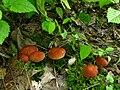 Collybia dryophila 14066.jpg