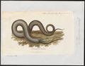 Coluber corallinus - 1700-1880 - Print - Iconographia Zoologica - Special Collections University of Amsterdam - UBA01 IZ12100143.tif
