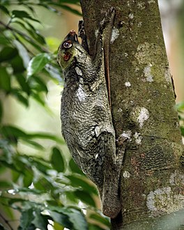 Colugo (Galeopterus variegatus, adult female), Central Catchment Area, Singapore - 20060618.jpg