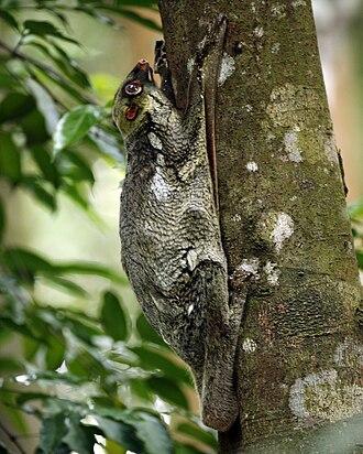 Colugo - Sunda flying lemur