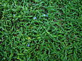 Commelina cyanea habit3 (8423154422).jpg