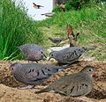 Common Ground Dove From The Crossley ID Guide Eastern Birds.jpg