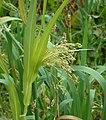 Common Millet Panicum miliaceum (6485812237).jpg