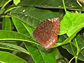 Common Palmfly Elymnias hypermnestra by Dr Raju Kasambe DSCN4297 (5).jpg