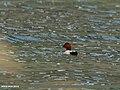 Common Pochard (Aythya ferina) (19745500465).jpg