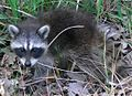 Common Raccoon (Procyon lotor) in Northwest Indiana.jpg