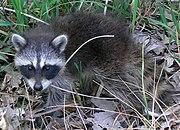Common Raccoon (Procyon lotor) in Northwest Indiana.jpg