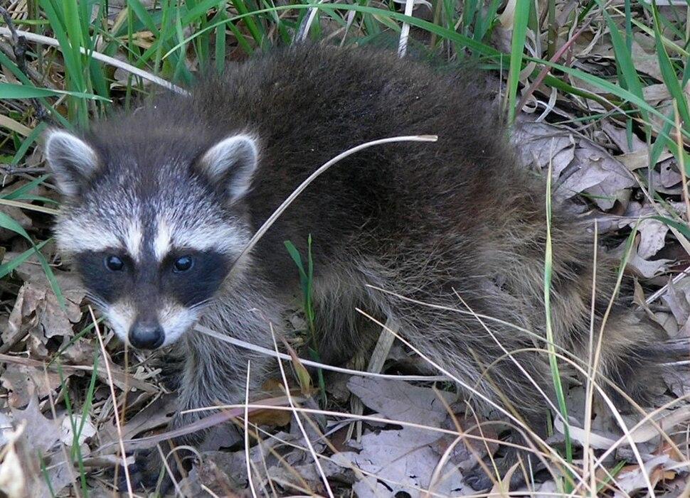 Common Raccoon (Procyon lotor) in Northwest Indiana