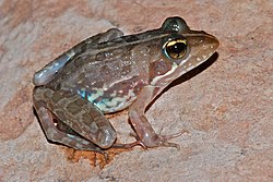 Common River Frog (Amietia angolensis) (7039219601).jpg
