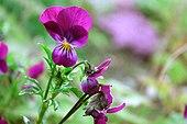 Flowers of Viola tricolor