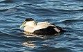 Common eider male at Jones Beach (04702).jpg