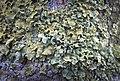 Common orange lichen (50843667948).jpg
