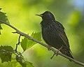 Common starling (50512687496).jpg