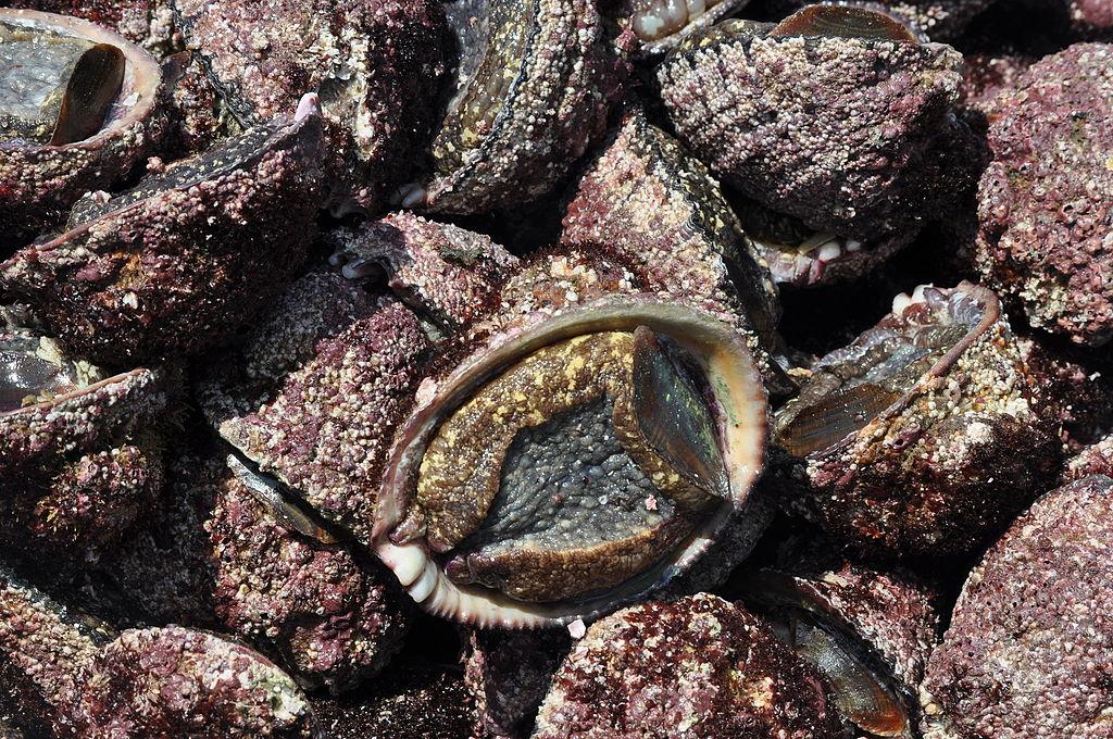 Concholepas concholepas (locos) 03.JPG