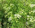 Conium maculatum Cresswell 02.jpg