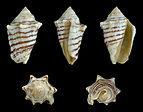 Conomurex fasciatus 01.JPG