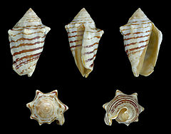 240px conomurex fasciatus 01