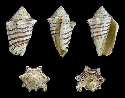 500px conomurex fasciatus 01