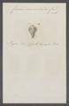 Conus semivelatus - - Print - Iconographia Zoologica - Special Collections University of Amsterdam - UBAINV0274 086 08 0024.tif
