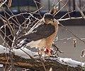 Cooper's hawk (52550).jpg