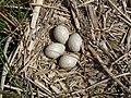 Coot Nest 07-05-10 (4586830235).jpg
