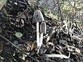Coprinopsis lagopus 62502985.jpg