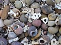 Coral and shells - geograph.org.uk - 180686.jpg