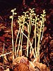 Corallorhiza trifida 1996.jpg