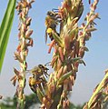 Corn-tassel-honeybees.jpg