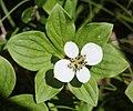 Cornus canadensis (flower).jpg