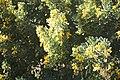 Coronilla valentina-3126.jpg