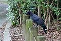 Corvus macrorhynchos Kyoto 2.jpg