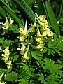 Corydalis bracteata 02.JPG