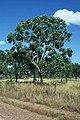 Corymbia latifolia.jpg