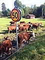 Cows near Haby - panoramio.jpg