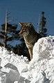 Coyote030 (26841414942).jpg