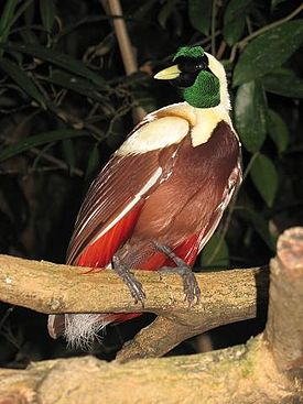 http://upload.wikimedia.org/wikipedia/commons/thumb/c/cd/CpZ_Paradisaea_rubra_00.jpg/275px-CpZ_Paradisaea_rubra_00.jpg