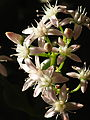 CrassulaOvata WhiteFlowers 04.JPG