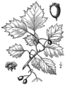 Crataegus macrosperma as C. roanensis BB-1913.png