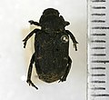 Cremastocheilus canaliculatus (Kirby, 1827) - 5392543077.jpg