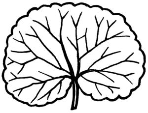 Crenation - Diagram of a crenated leaf