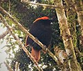 Crested Satinbird. Cnemophilus macgregorii (48727216982).jpg
