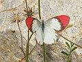 Crimson Tip (2821263010).jpg