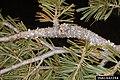 Cronartium ribicola Pinus flexilis (02).jpg
