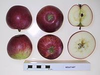 Cross section of Redstart, National Fruit Collection (acc. 1977-068).jpg