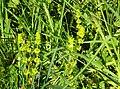 Crosswort, Cruciata laevipes. Lainshaw Woods, Strathannick, Stewarton.jpg